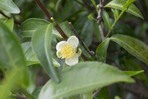 Teebaumblüte